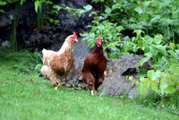 130614_GT_ABO_CHICKENS